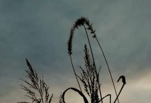 сутон-трава